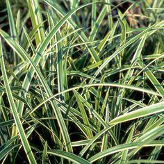 CAREX morrowii 'Ice Dance' (Laîche) : Genre extrêmement vaste de la famille des Cypéracées. La grande majorité est originaire d'habitats frais ou humides. Leur feuillage est coloré ou panaché. Les exigences de culture des Carex sont très variables selon leur origine, se reporter au descriptif de chaque espèce et variété. Panachure lumineuse du feuillage vert foncé, marginé de blanc pur.