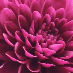 crysanthemum #flower #beautiful #purple