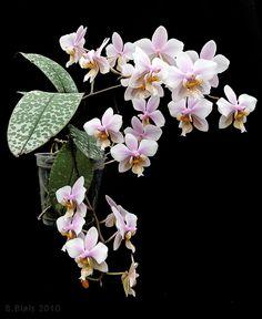 Phalaenopsis x schilleriano-stuartiana (P. schilleriana × P. stuartiana)