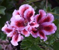 Пеларгония Aztec Pelargonium Aztec