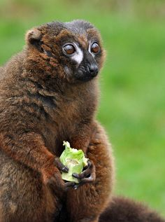 lemur by Chris Pulham, nearly all species of lemur are either Endangered or Critically Endangered. Native to Madagascar, these beautiful primates are threatened by hunting and habitat destruction.