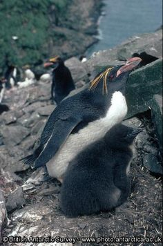 Penguin of the Day - 2013-08-25