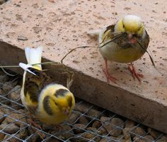 Pair of Canaries by the.deanery, via Flickr Lgbt Ally, Bird Breeds, Canary Birds, Serin, Finches, Small Birds, Pugs, Creatures, Beautiful