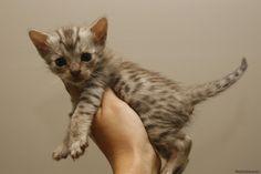 Savannah cats -  We love our Savannah cat's. The most beautiful cat breeds. We hope you love them too!   cat dog,cat cute,black cat,white cat,persian,persian cat, blue cat,grumpy cat,bengal cat,coon cat