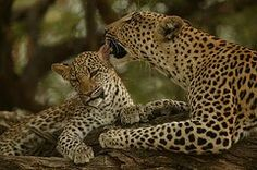 Mother leopard, Panthera by National Geographic