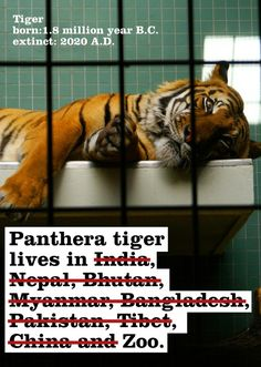 WWF special galleries - Tiger Posters - The Next Year Of The Tiger, Barbara Longiardi, Patricia De Croce & Alessandro Nigro, Italy