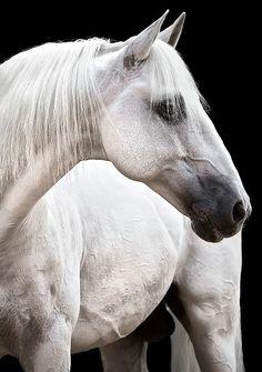 Raphael Macek - Horse Photography