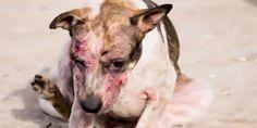 petição: justice for pregnant dog