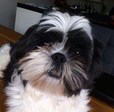 Zorro Shih Tzu, Pets, Animals, Animals And Pets, Animales, Animaux, Animal, Animais