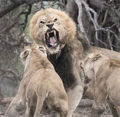Both African lion vs Asiatic lion looks almost similar but they have some similarities, differences too. Read this article to know Asiatic lion vs african lion fight comparison- who will win? Nature Animals, Animals And Pets, Cute Animals, Animals Photos, Mundo Animal, My Animal, Beautiful Cats, Animals Beautiful, Beautiful Life