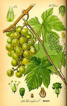 Vitis vinifera - Wikipedia