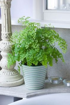 MAIDENHAIR FERN - Ferns grow well in the bathroom.  The more showers taken by the family, the happier they are.
