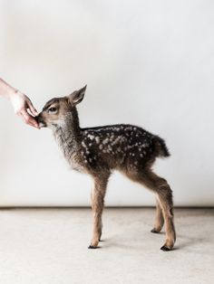 Can I please have her as my pet? Fauna (baby dear), photo by Benjamin Holtrop > http://www.benjaminholtrop.co/
