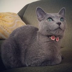 Very #beautiful #russianblue #cat