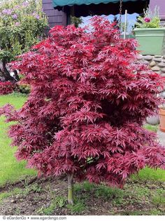 Buy Flowers Online Same Day Delivery Acer Palmatum 'Shaina' Common Name: Dwarf Red Japanese Maple Egardengo Dwarf Trees For Landscaping, Backyard Landscaping, Garden Trees, Trees To Plant, Japanese Red Maple Tree, Japanese Maple Garden, Red Shrubs, Trees For Front Yard, Baumgarten