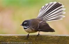Fantails birds of New Zealand New Zealand Wildlife, Tui Bird, Zealand Tattoo, New Zealand Houses, Nz Art, Maori Art, Kiwiana, Kinds Of Birds, Bird Drawings