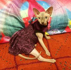 Cat clothes SIZE Medium /Cat DRESS/ Dress for Cat/Cat Sweater /Cats Dress /Sphynx Cat Clothes/Sphynx Clothing /Cats Clothes/ Dress for Pet by ABCSphynx on Etsy
