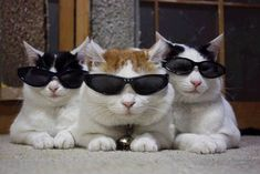 cats with glasses | JULY 2011 : FUNDING FOR MACDIARMID-RIDDET PROJECT !