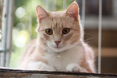 The tail is about half the length of normal cats. Some of the American Bobtail cats have tails two third of the length of the tail of a normal cat. Gato Bobtail, American Bobtail Cat, Cat Food Brands, Cat Biting, Dog Quotes Love, Buy Pets, Cat Feeding, Marketing Digital, Cool Cats