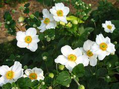 japanese-anemone-andrea-atkinson.jpg (2816×2112)