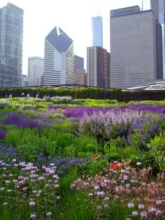 The Lurie garden.One of my favorite photos. I love the contrast of Piet Oudolf's prairie-style garden, with swaths of purple salvia, against the skyscrapers.  http://4.bp.blogspot.com/_BGBsQQJxoPQ/Sic8E1PDKAI/AAAAAAAABd4/-6qNb0HTEqw/s1600/CIMG6991.JPG