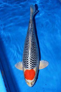 Koi Fish Colors, Carpe Koi, Japanese Koi, Goldfish, Koi Ponds, Inspiration, Carp, Animales, Biblical Inspiration