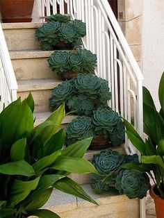 Sempervivums lining the stairs,  Ancient stories tell of using Sempervivum to repel evil spirits and protect homes from Thor, the god of thunder and lightning as well as ensuring prosperity to those who live in the home!
