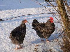 kinderboerderij in de sneeuw - Forum - Hobbydoos.nl - Pagina 1