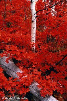 Maple and Aspen