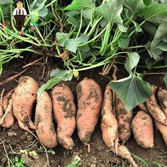 Outstanding Home vegetable garden tips are readily available on our web pages. Read more and you wont be sorry you did. Vegetable Garden Tips, Container Gardening Vegetables, Growing Vegetables, Fruits And Vegetables, Organic Vegetables, Growing Plants, Sweet Potato Plant, Rodale's Organic Life, Growing Sweet Potatoes