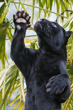 A Black Panther Being Playful.