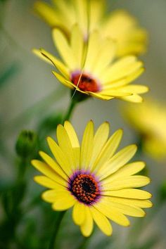 The Daisy family of flowers seem to have a natural and sunny disposition. Happy Flowers, Flowers Nature, My Flower, Pretty Flowers, Yellow Flowers, Birth Flower, Nature Tree, Pastel Yellow, Purple