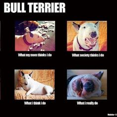 This couldn't be more true! Exactly like my bullie! I can't even take him to Petsmart without people grabbing their dogs and running!