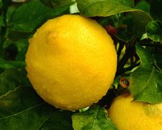 12 Great Uses for the Lowly Lemon
