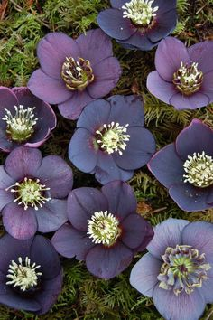 Helleborus x hybridus 'Winter Jewel Black Diamond'. Dusky purple blooms and purple to green foliage.