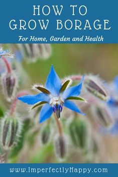 How to grow Borage for home, garden and health. Growing the herb Borage has some amazing benefits.