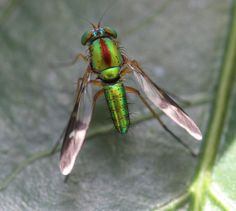 long-legged fly, vietnam, 2012