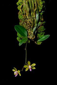 Phalaenopsis hainanensis