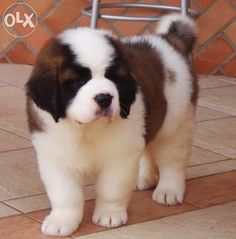 saint bernard puppies - Google Search