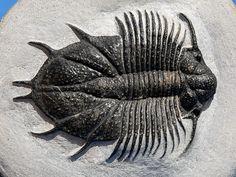 Acanthopyge: Family: Lichidae. Superfamily Lichoidea. Order LICHIDA. Devonian, Morocco
