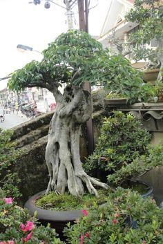Banyan with roots Bonsai Ficus, Bonsai Plants, Bonsai Garden, Bonsai Styles, Tree Art, Garden Sculpture, Cool Pictures, Roots, Trees