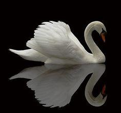 Cisne.