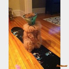 let's snowboard.......haha, cats can't snowboard.