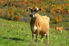 "Jersey Cow - yep, I want one of these just for ""pet""sake :)"