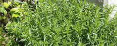 Segurelha: a erva dos sátiros - Originária da Ásia Ocidental e Central, esta erva é utilizada a mais de 2000 anos como tempero na culinária. Satureja em latim significa sátiro e, de acordo com a lenda, diz que a segurelha pertencia aos sátiros (personagem mitológico metade homem e metade bode, que habita as florestas). Até o sé... - http://www.tradutorgoogle.com/ecoblog/2015/02/20/segurelha-a-erva-dos-satiros/