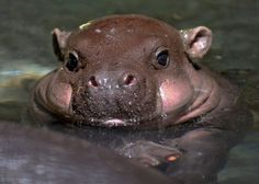 Baby hippo has rosy cheeks.  Now we know where they got the idea for hungry hungry hippos.