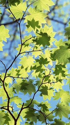 Maple Leaves Under Sunlight  #iPhone #7 #wallpaper