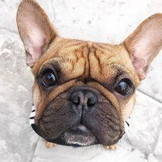 """Gefällt 15 Mal, 2 Kommentare - Frenchie Love® ❤️ (@byfrenchielove) auf Instagram: """"Cuteness overload:@pickett_the_pup ❤️#frenchielove #frenchie #frenchbulldog"""""""