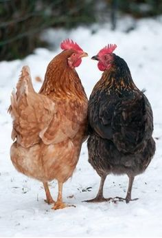 """""""Pearl, I know how you are and I don't want you to cluck this up. I'm planning a surprise housewarming party for Flossie and I am not inviting your sister."""" --Cheryl A. Schwartz"""