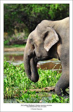Sri Lankan Elephant (Elephas maximus maximus), Yala National Park, Sri Lanka (www.secretlanka.com)